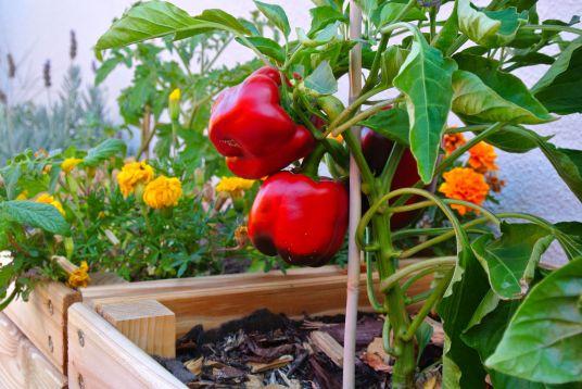 peppers voor