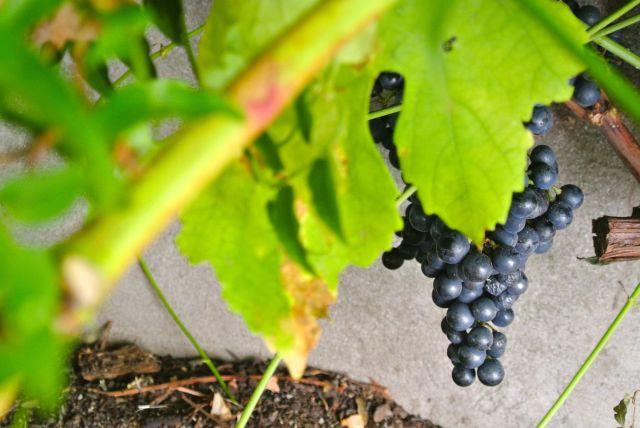 Jeanne Calitz Stillewe druiwe1